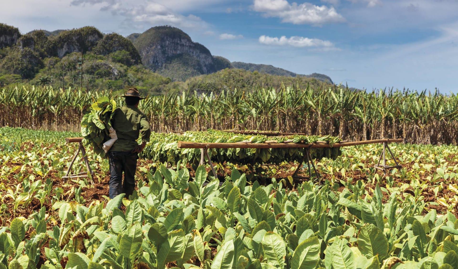 Cuba von West nach Ost ab Havanna: Natur Viñales - Kuba Tabakfeld mit Mann C