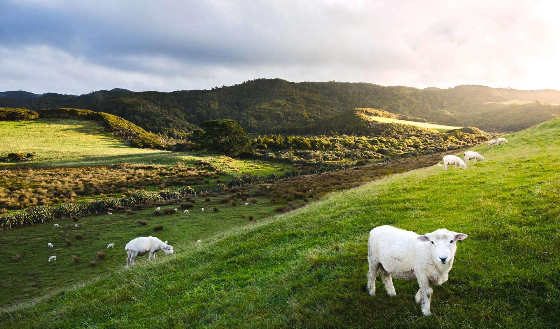 Spektakuläres Neuseeland (AAT Kings) ab Auckland: Neuseeland - Alpen und Gletscher - Alpen Panorama mit Schaafherde - Shutterstock Leelakajonkij