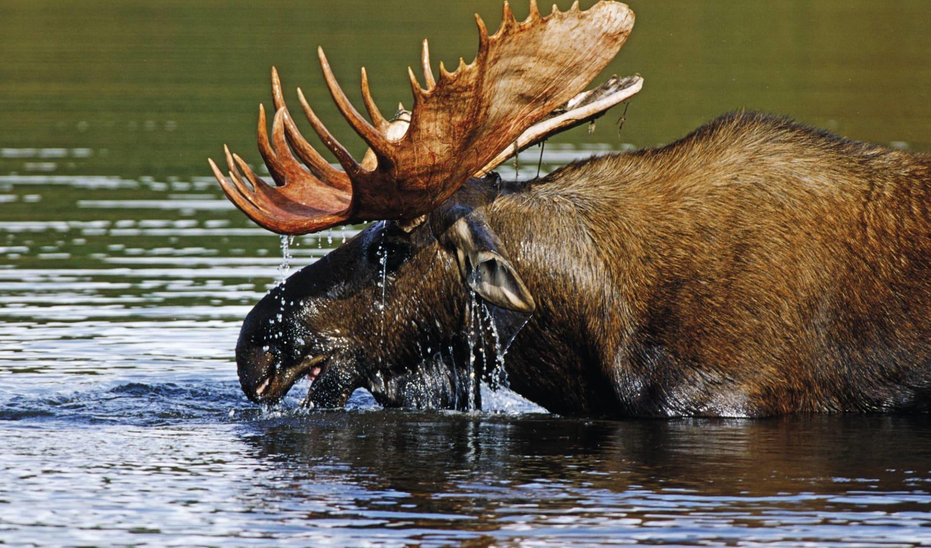 Okwari Tierbeobachtung ab La Baie: Ostkanada - Elch im Wasser