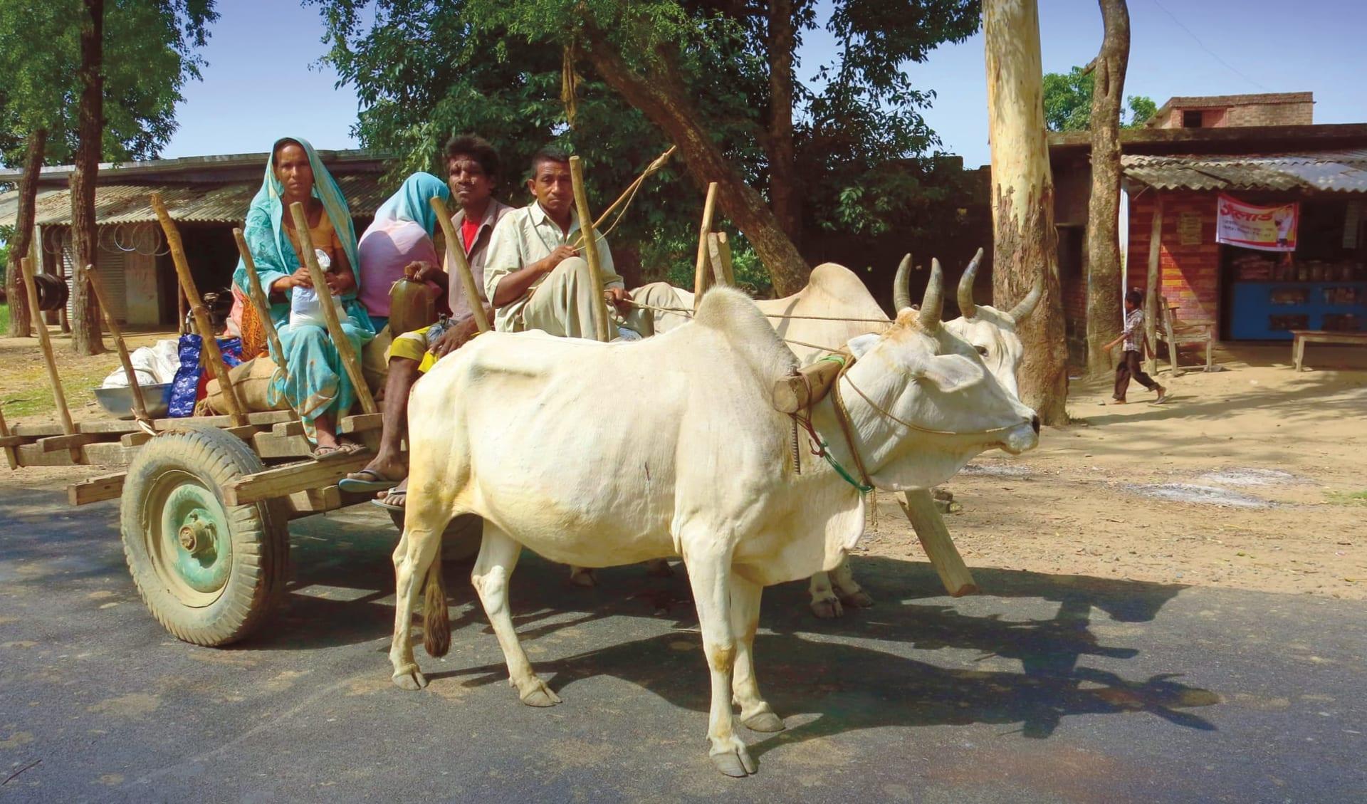 Jaagir Lodge Safari ab Lucknow: Oxcart in Lakhimpur Kheri
