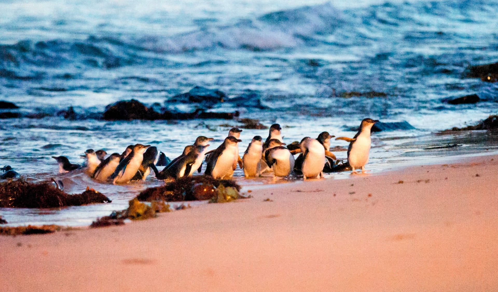 Sydney - Melbourne Coastal Drive: Phillipp Island - Pinguine kommen aus Wasser
