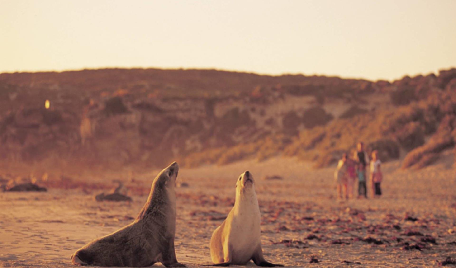 Lifestyle, Wine & Wildlife ab Adelaide: Seal Bay - 2 Seehunde