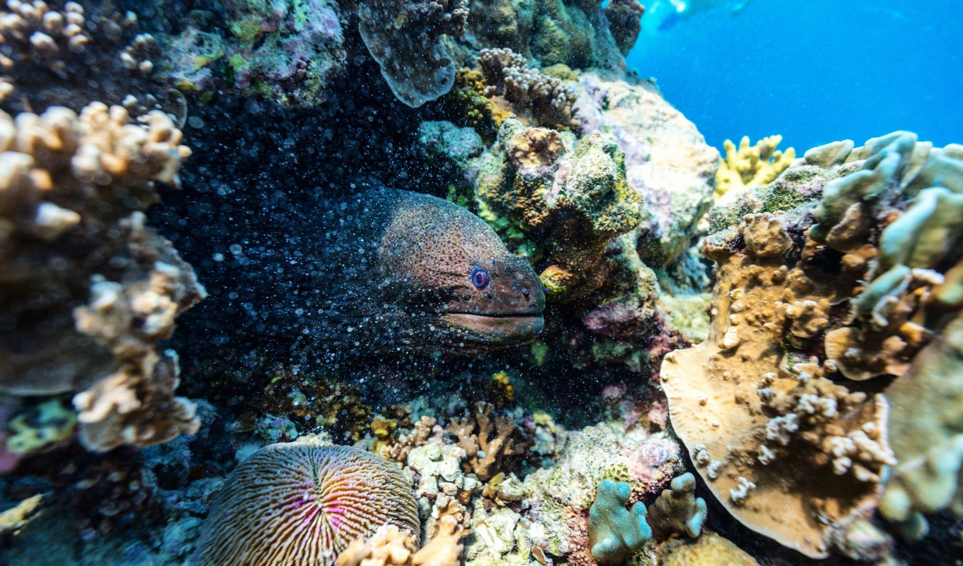 Neugierige Moräne, Seychellen