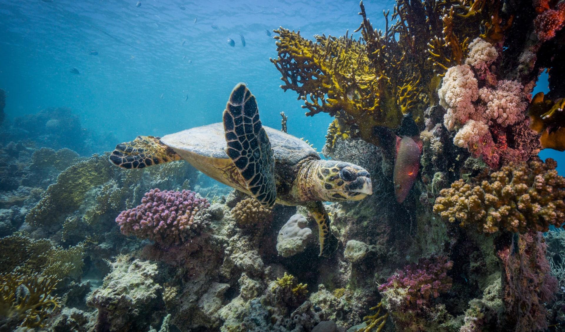 Entspannte Meeresschildkröte zieht vorbei, Seychellen