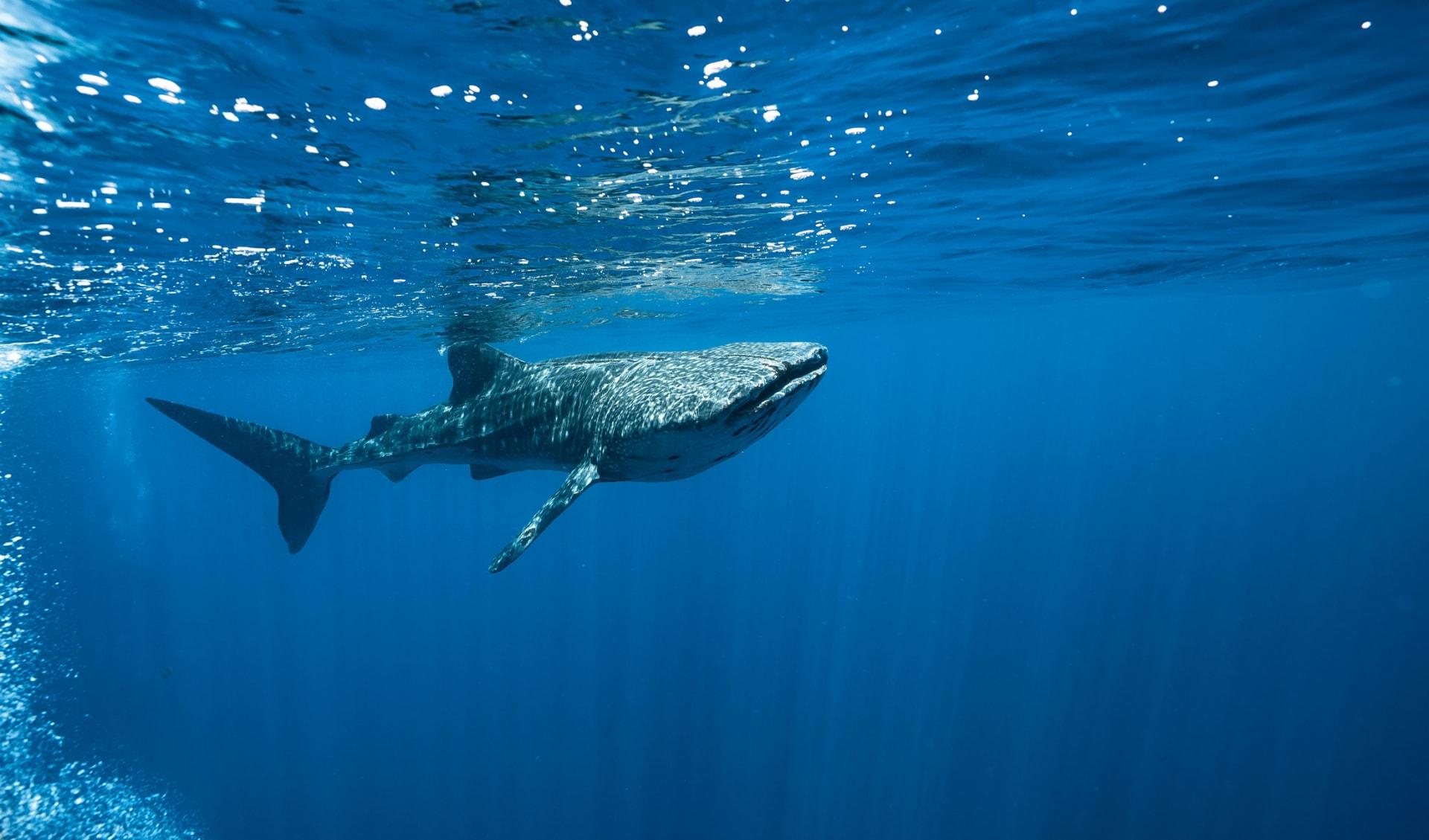 Imposante Begegnung mit Walhai auf den Seychellen