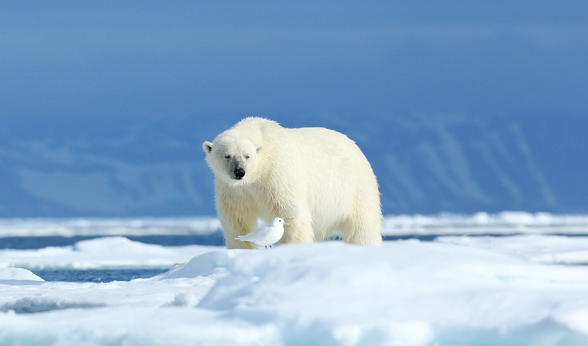 Eisbär, Arktis