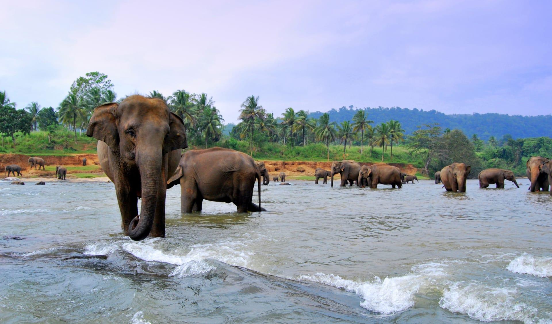 Elefanten, Sri Lanka