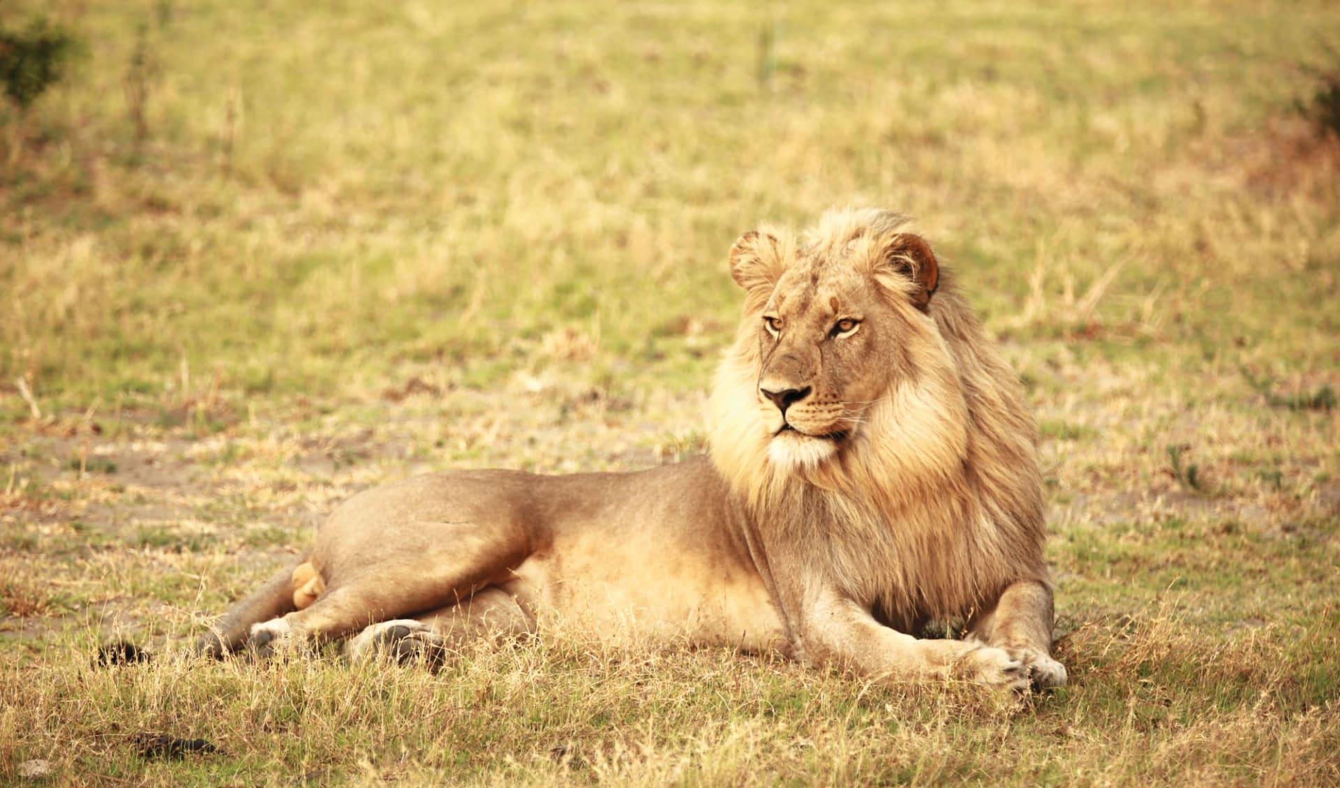 Naturreise Südafrika ab Johannesburg: Südafrika - Johannesburg - Löwe