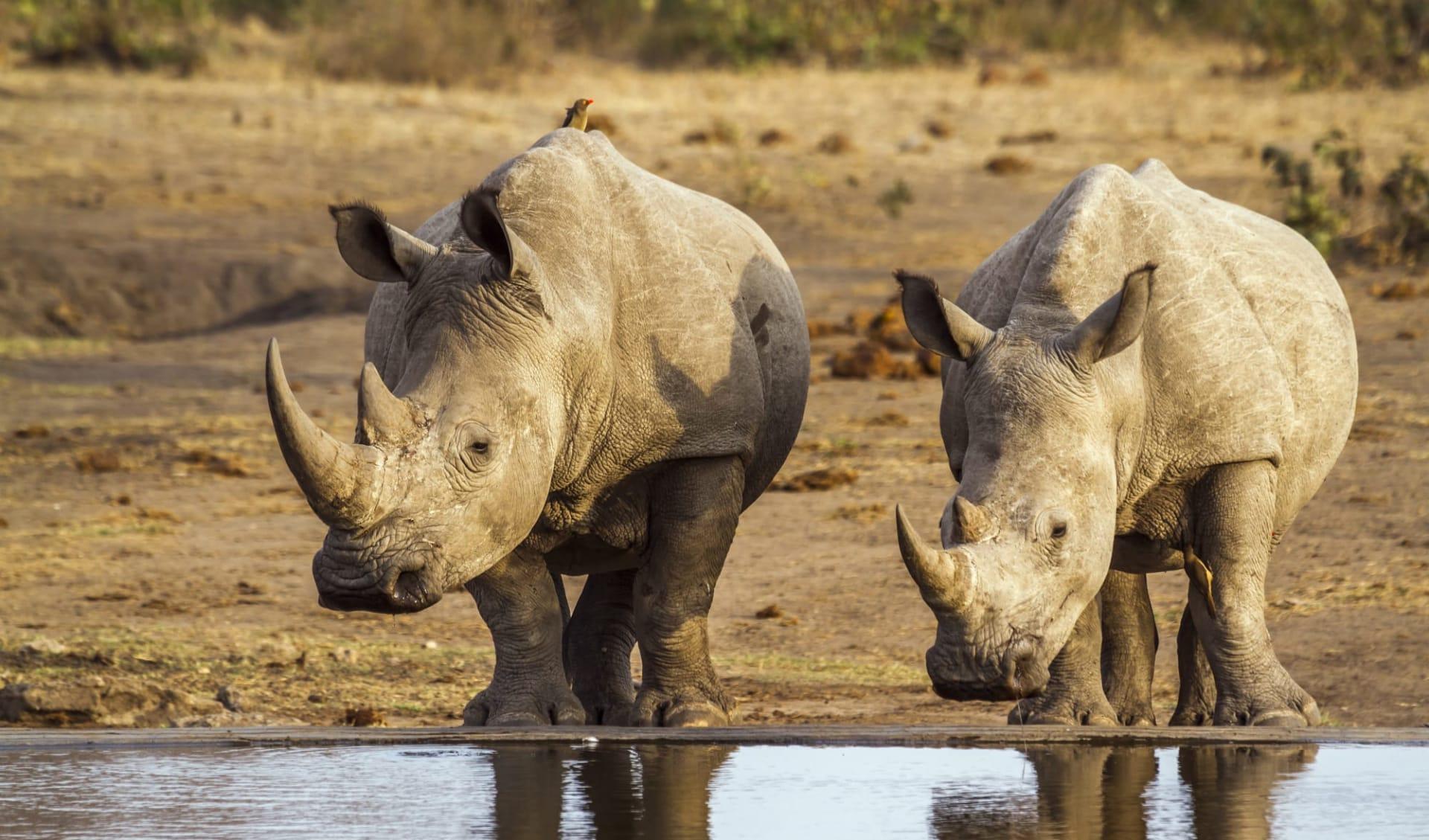 Best of South Africa ab Johannesburg: Südafrika - Krüger Nationalpark - Rhinos am trinken