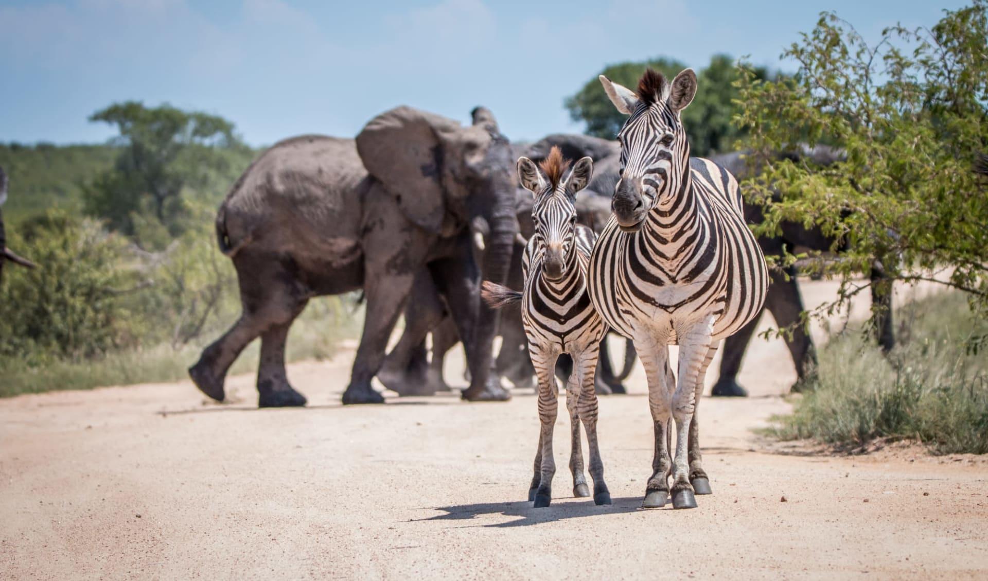 Krüger Nationalpark (Südafrika) & Mozambique ab Johannesburg: Südafrika - Krüger Nationalpark - Tiere auf der Strasse