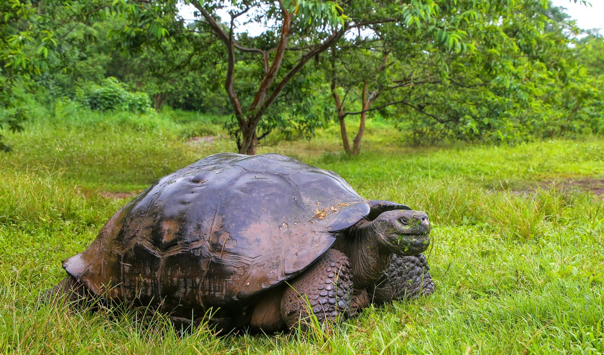 Galapagos Schildkröte, Ecuador