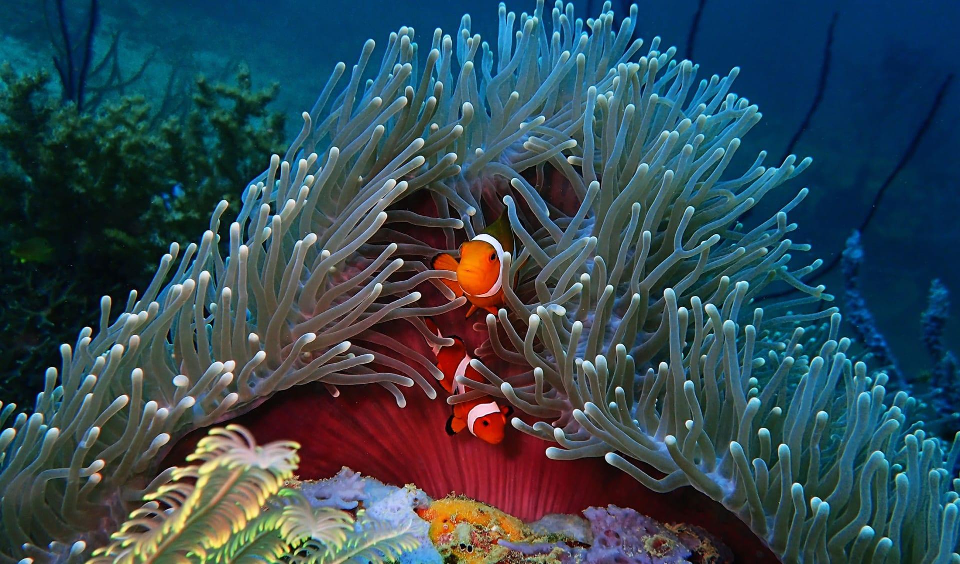 Tauchferien, Tauchen, Clownfisch, Fiji