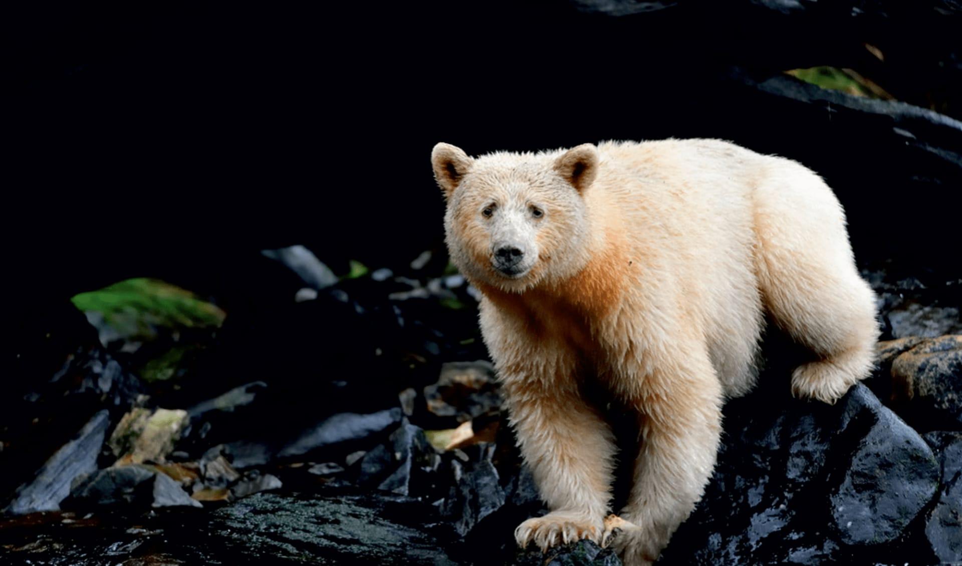 Bärenbeobachtung Spirit Bear Lodge ab Vancouver: tier bärenbeobachtung spirit bear lodge weisser bär