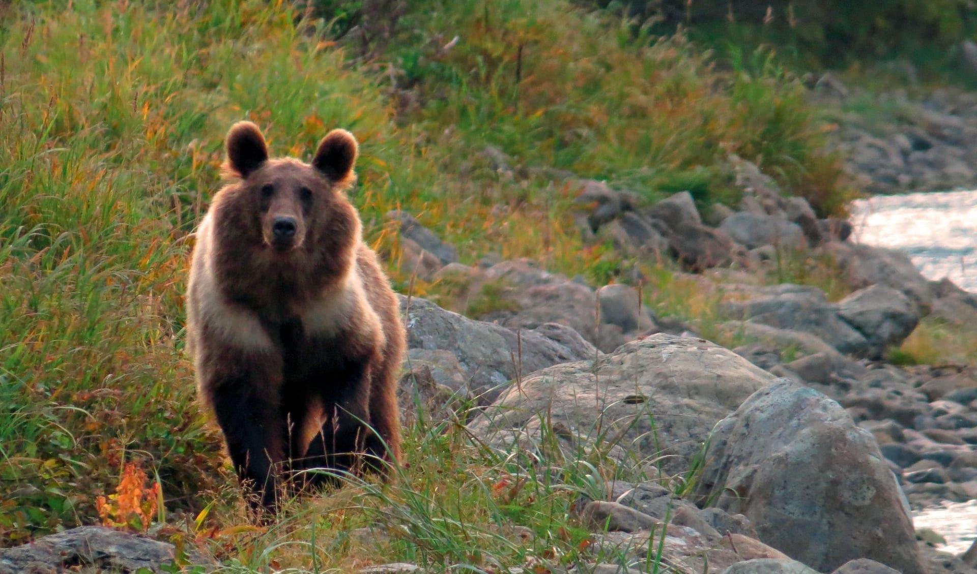 Vulkane, Geysire und Bären ab Petropawlowsk-Kamtschatka: Vulkane, Geysire und Bären_Bär