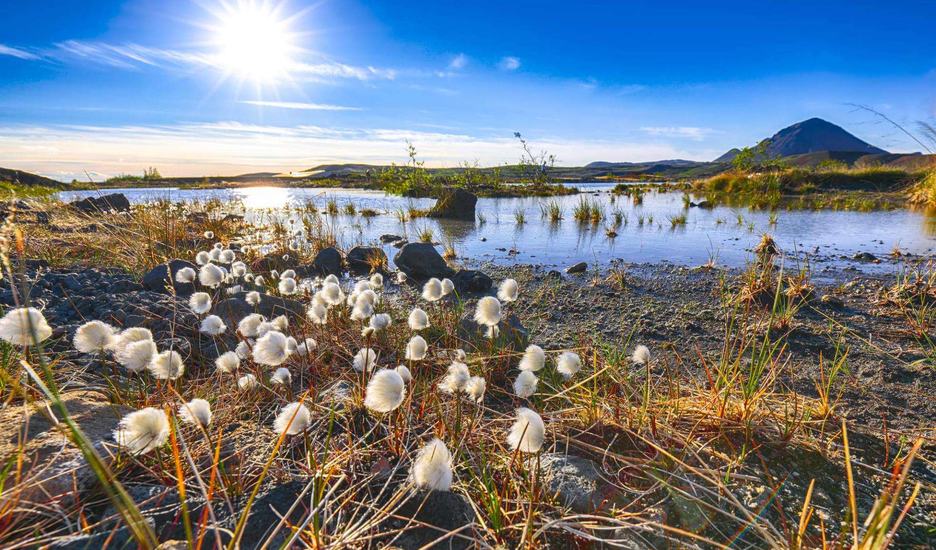 Skútustadir in Myvatn: White fluffy cotton flowers at Myvatn lake. Location: Myvatn region, North part of Iceland, Europe