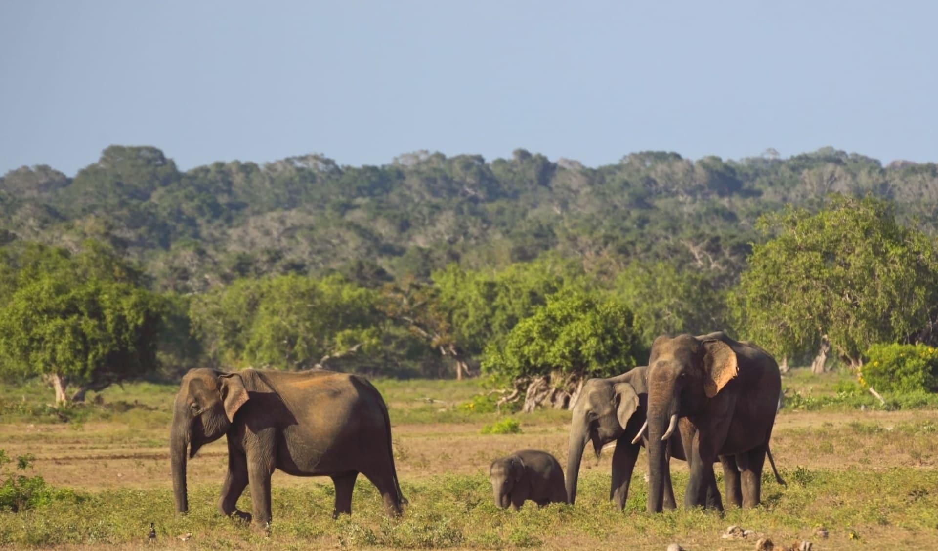 Yala Nationalpark Safari - Chena Huts - 3 Tage ab Colombo: Yala National Park: Elephants
