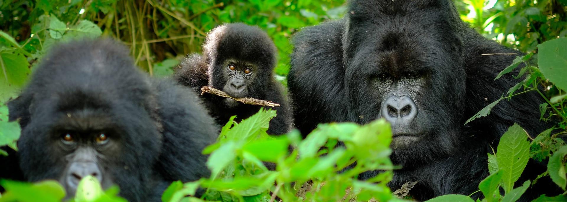 Berggorilla, Ruanda