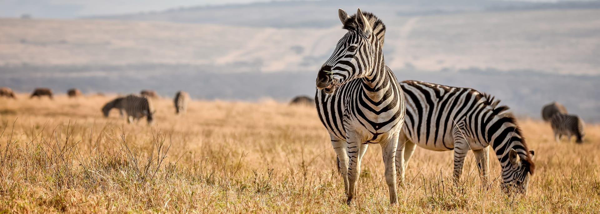 Zebra in Durban, Südafrika