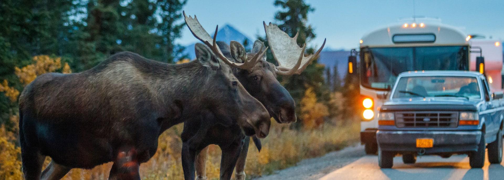 Elchbullen, Alaska