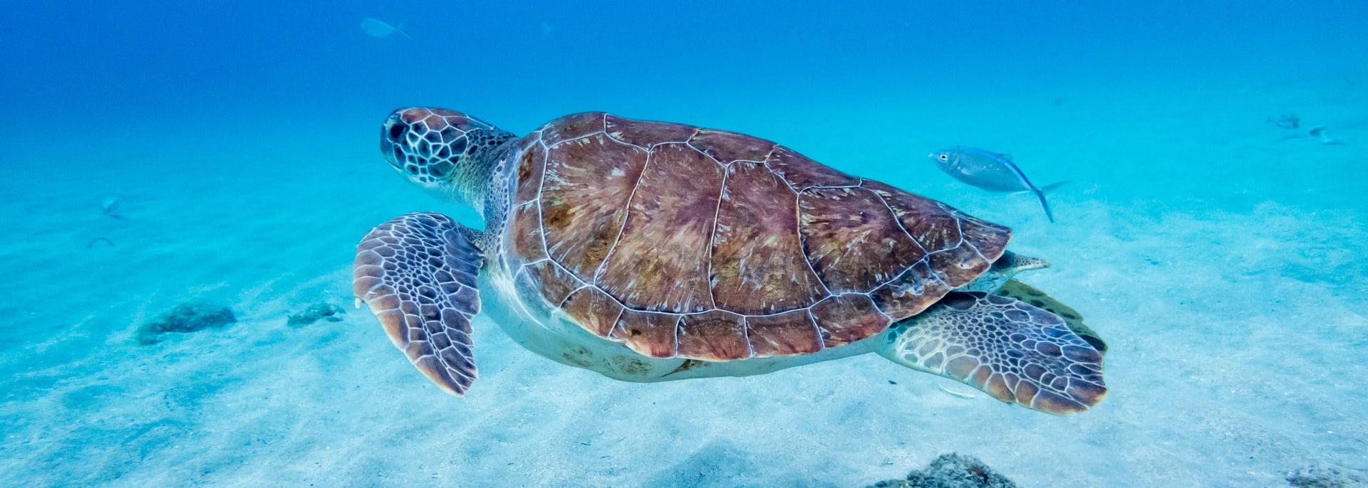 Karibik Schildkröte