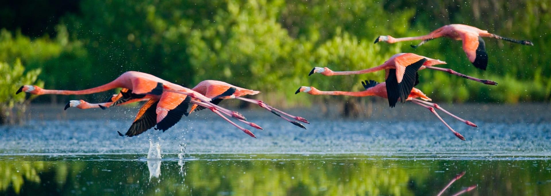 Karibische Flamingos, die mit Reflexion über Wasser fliegen. Kuba.