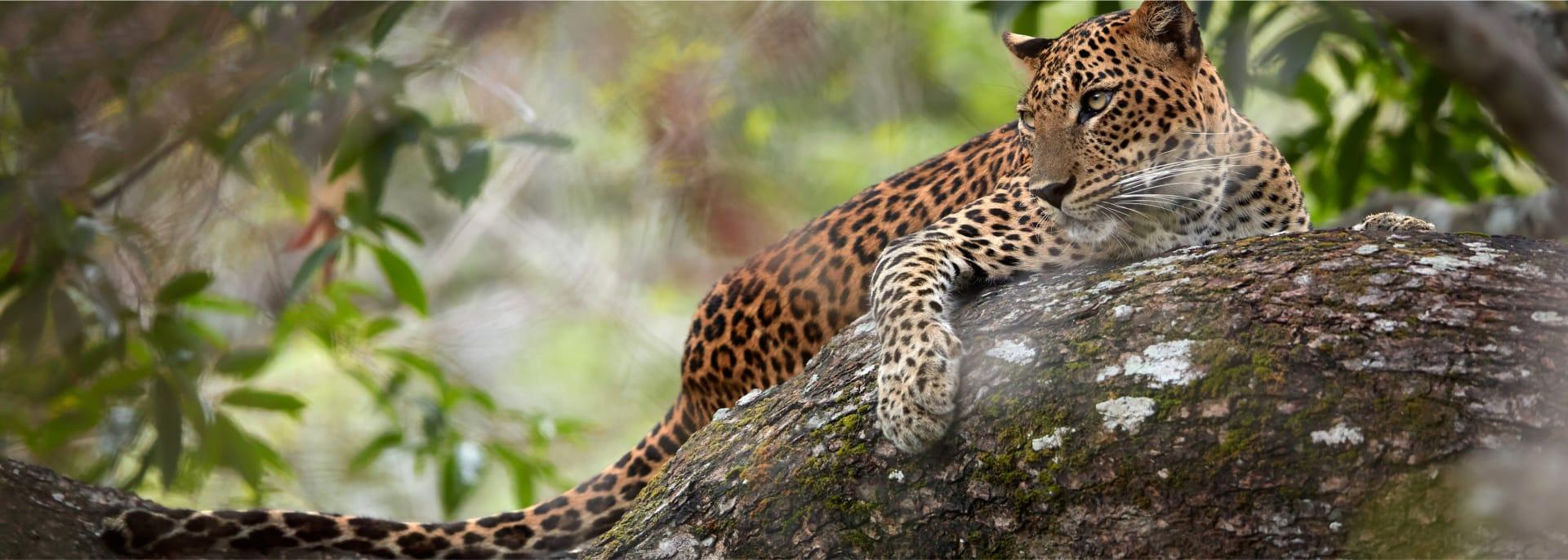 Jaguar, Argentinien