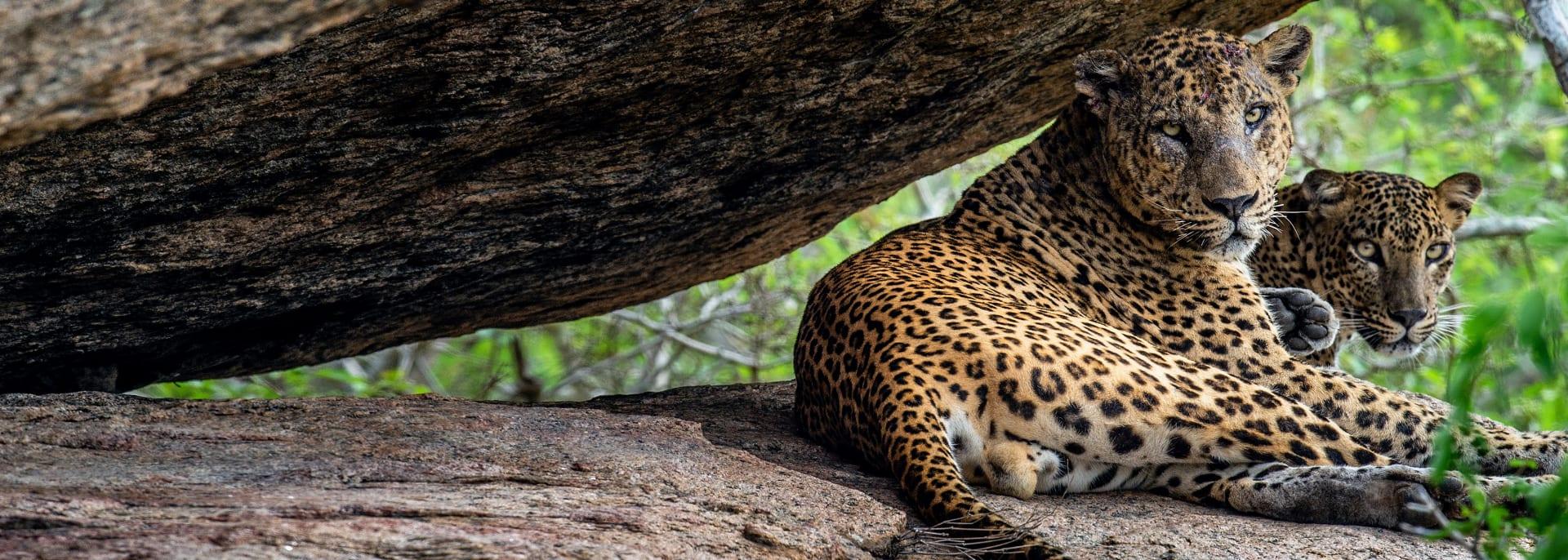 Jaguar, Wildlife, Brasilien