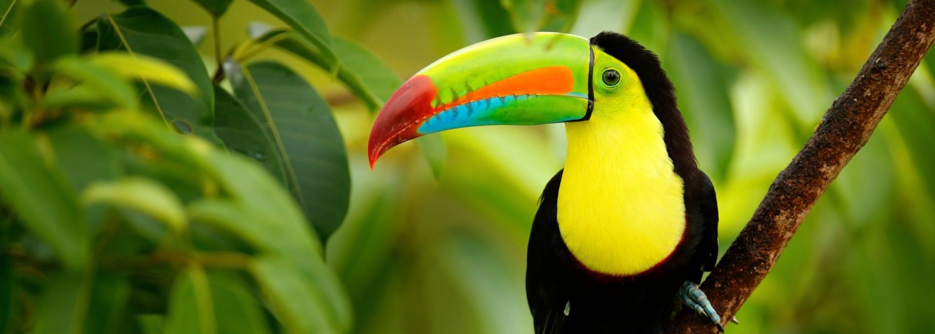 Tukan in Costa Rica
