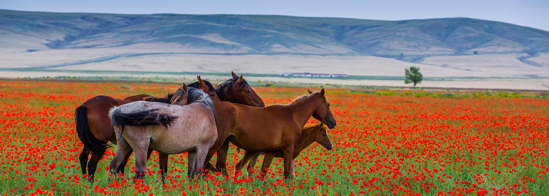 Wildpferde, Kasachstan