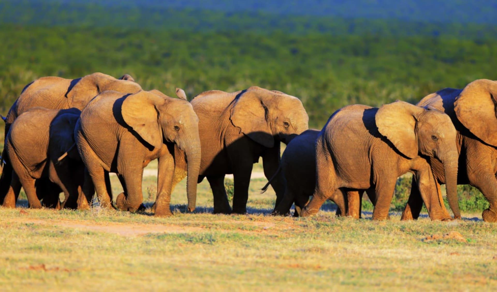 Südafrika für Familien ab Kapstadt: Südafrika - Garden Route - Addo Elephant Nationalpark Elephant Family