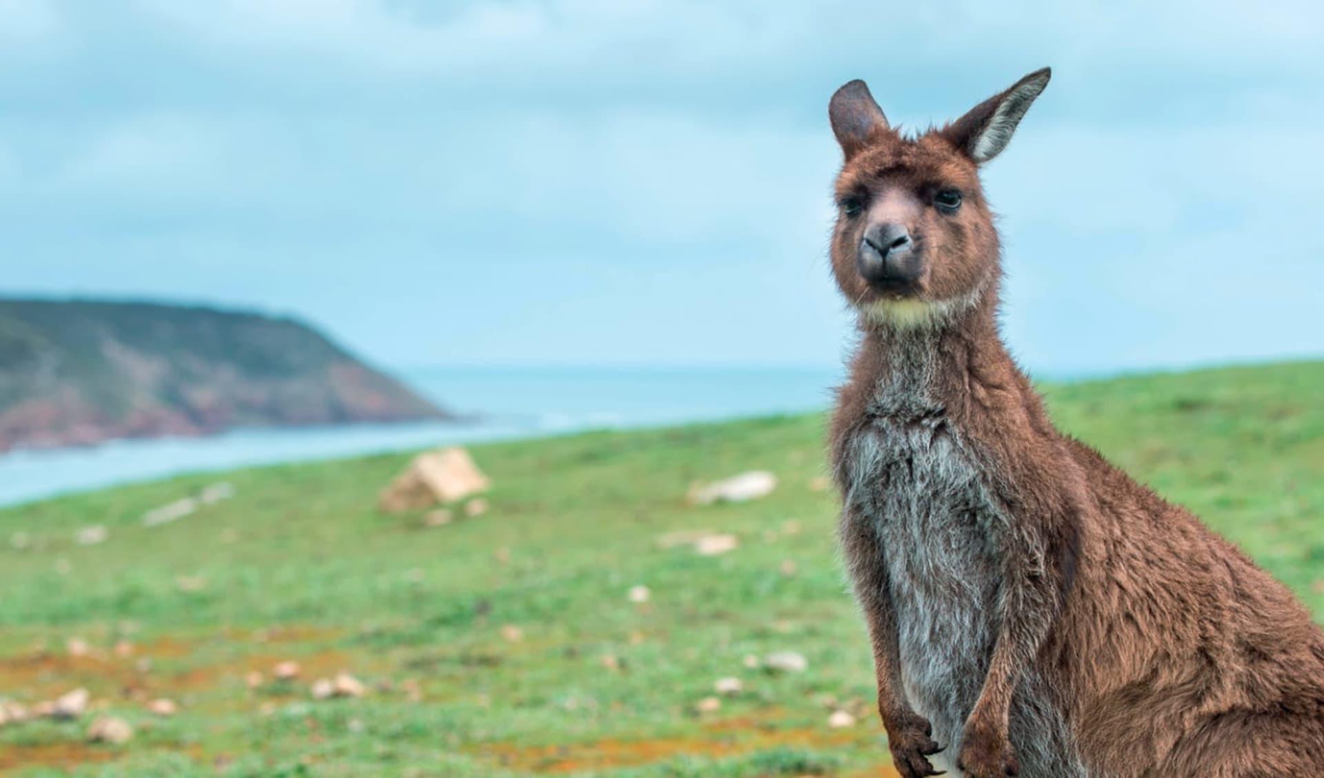 Best of Kangaroo Island ab Adelaide: Australien - Kangaroo Island - Kangaroo