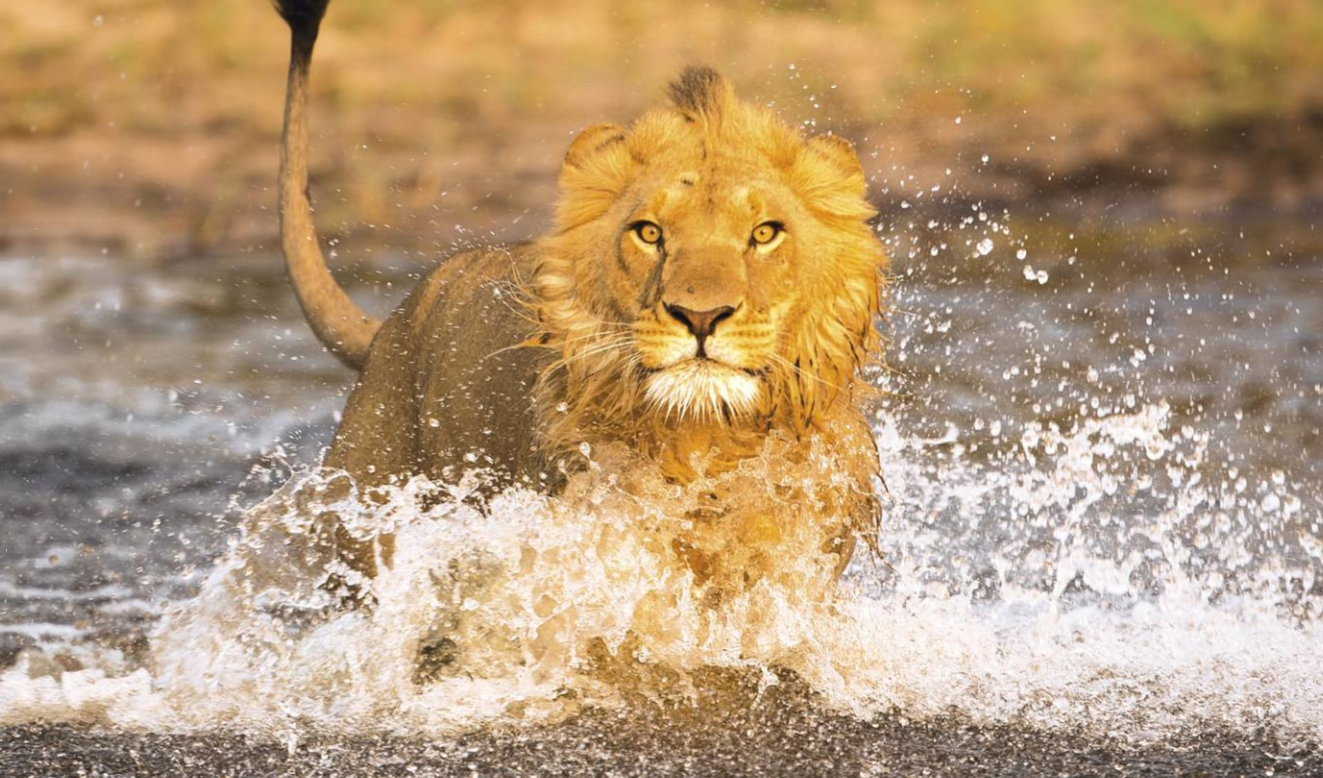 Botswana Royal ab Linyanti Region: Botswana - Okavango Delta - Löwe im Wasser