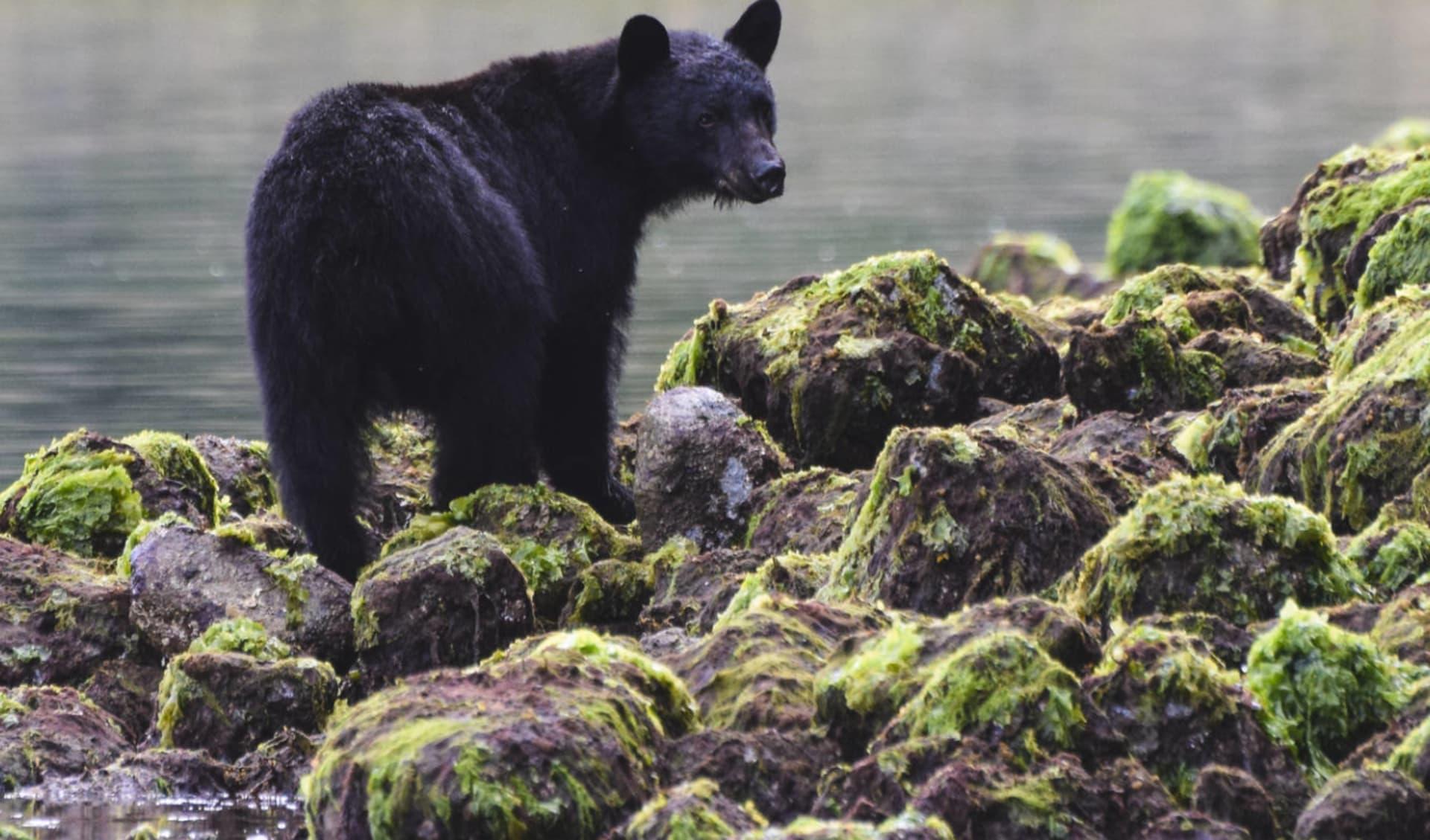 Schwarzbären- und Wildbeobachtung Waldstation Duchesnay ab Saint-Raymond: Kanada - Tofino - Schwarzbär am Fluss