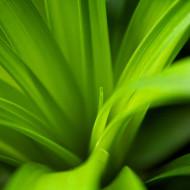 Beaucarnea leafs