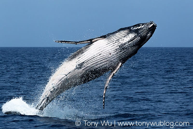 Breaching humpback whale calf.