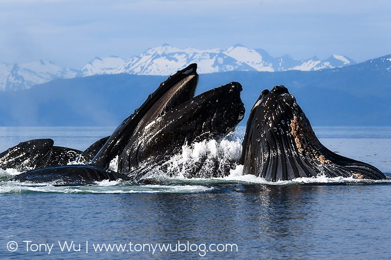 Humpback whales bubble net feeding in Alaska.