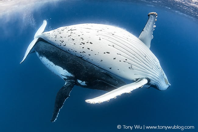 Humpback whale pair.