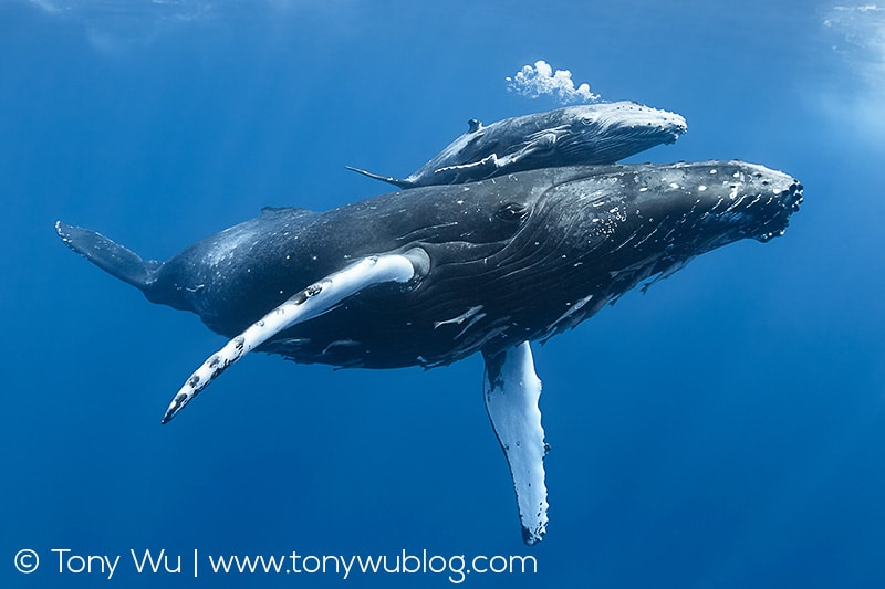 Injured humpback whale calf swimming with mother.