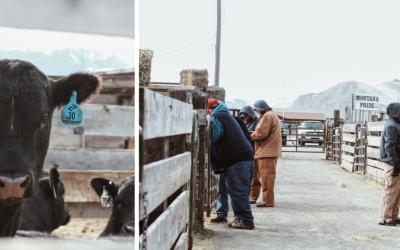 Bull Sale Coverage – Split Diamond Ranch
