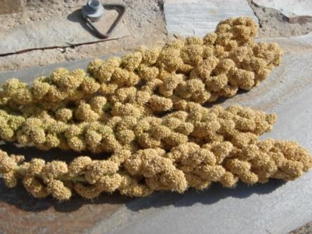 Millet before the seeds have been separated