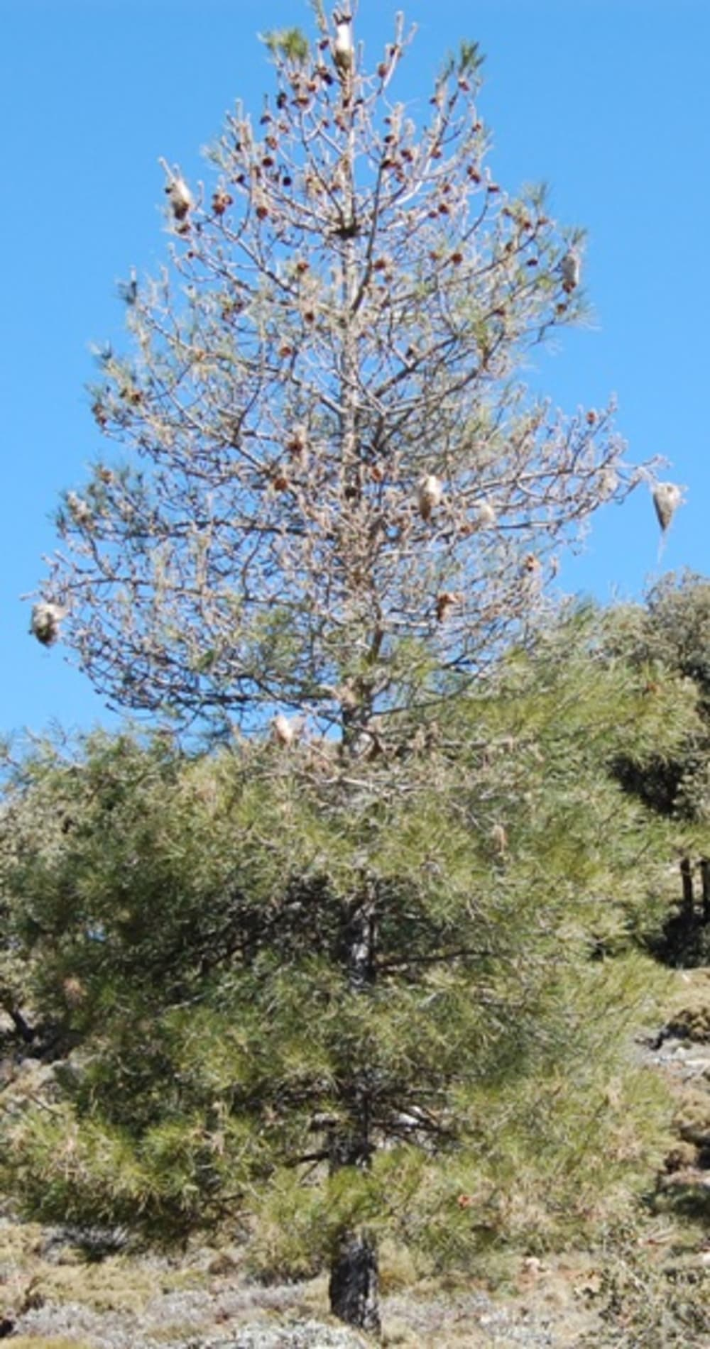 A nearly dead pine tree with many pine processionary caterpillar nests