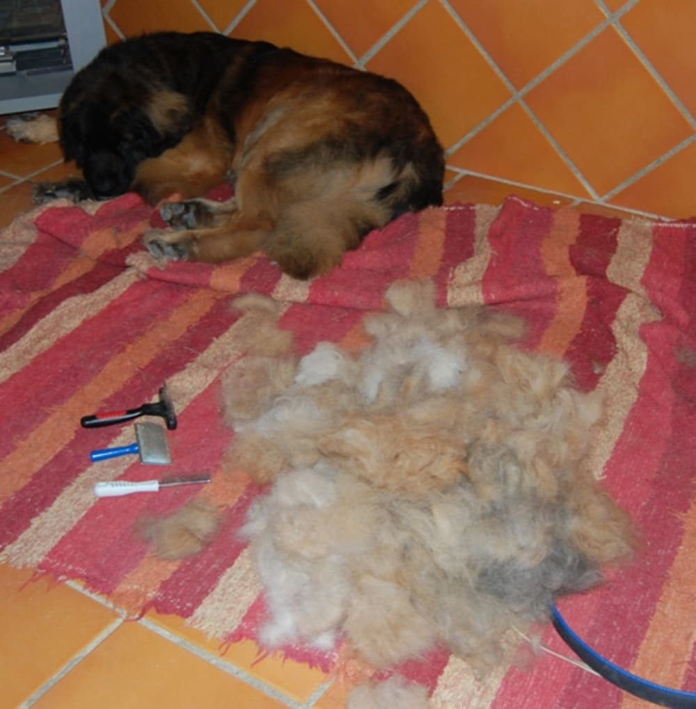 Bruno with his pile of hair