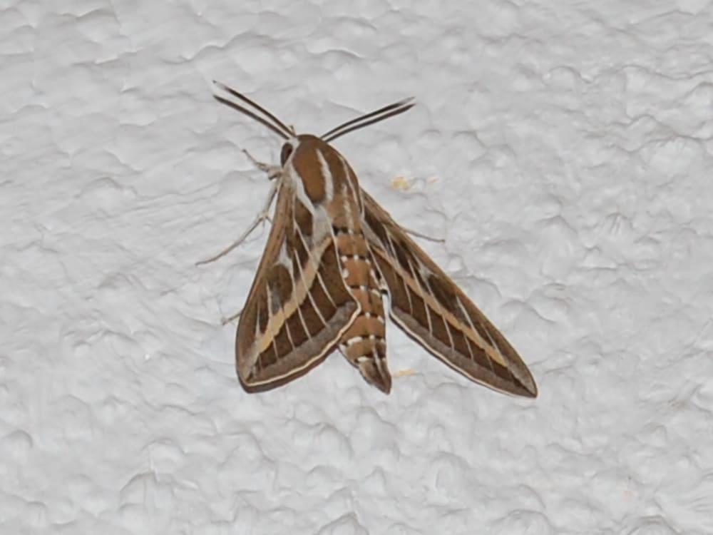 Striped Hawkmoth - Hyles livornica