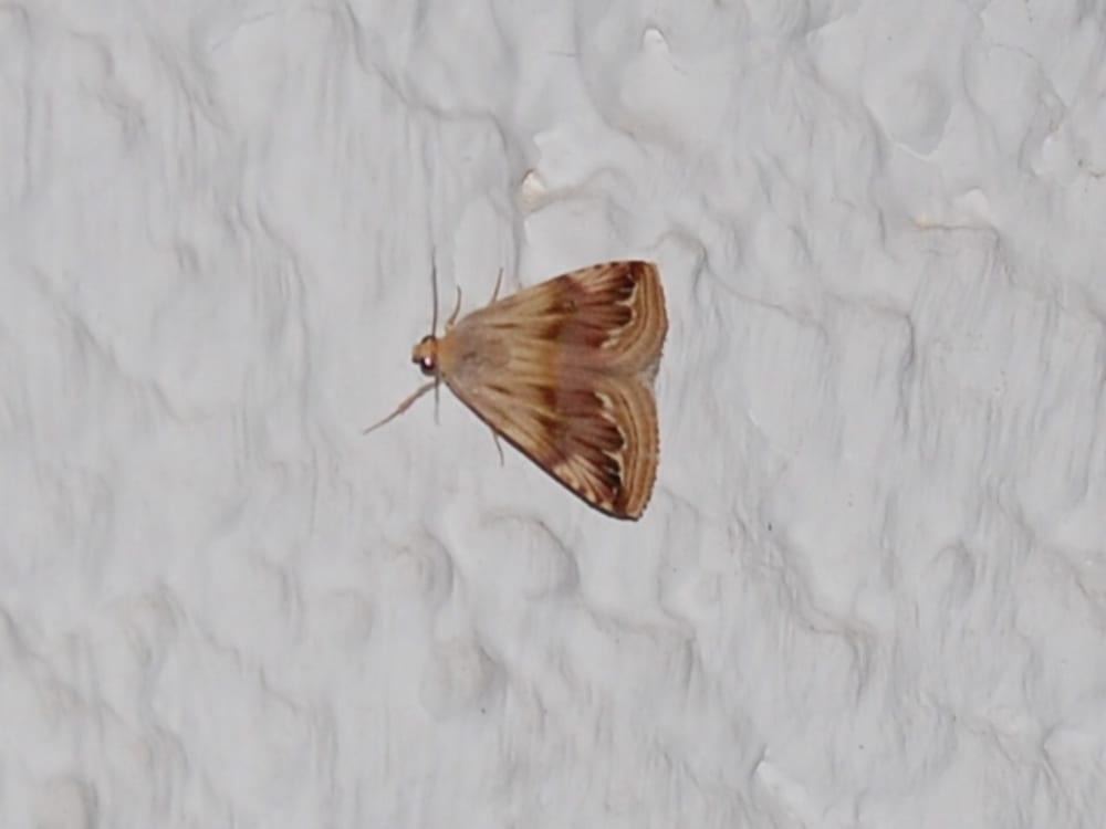 Purple Marbled - Eublemma ostrina