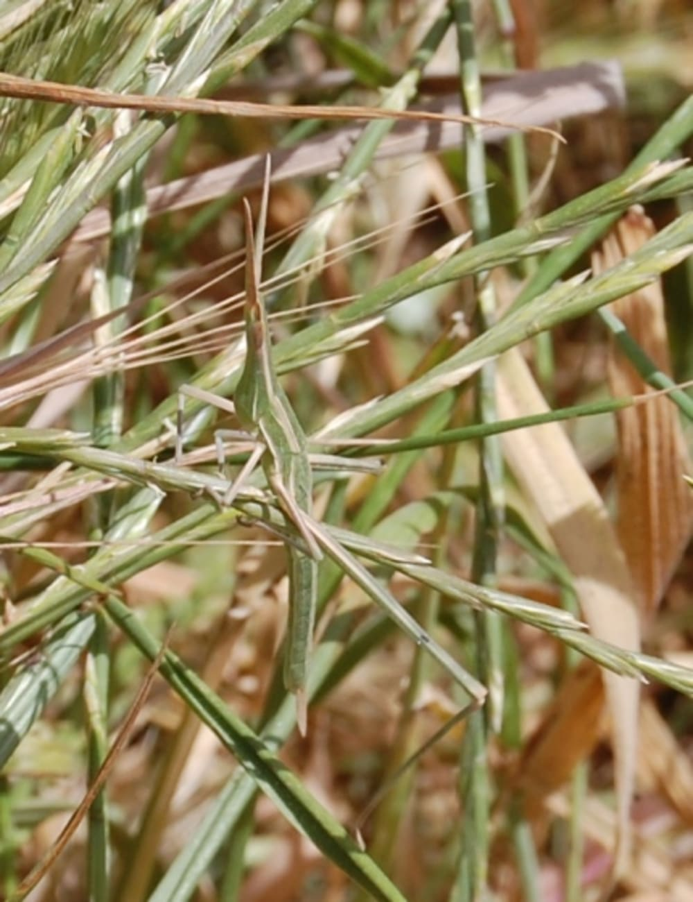 Nosed grasshopper - Acrida hungarica