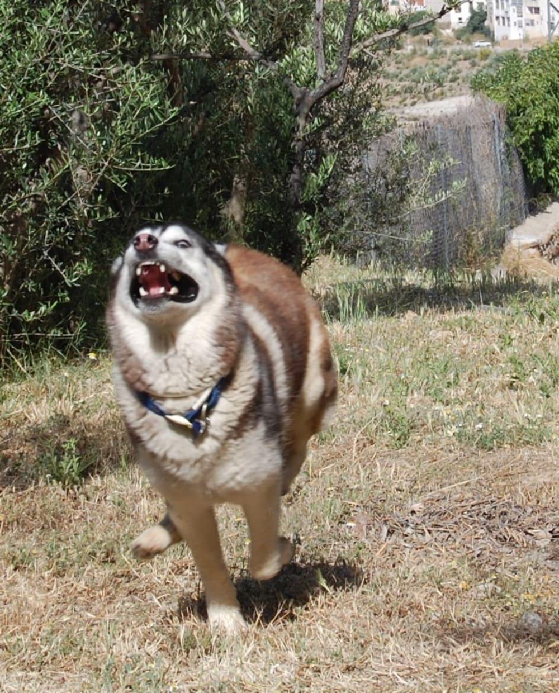 Husky in psycho mode