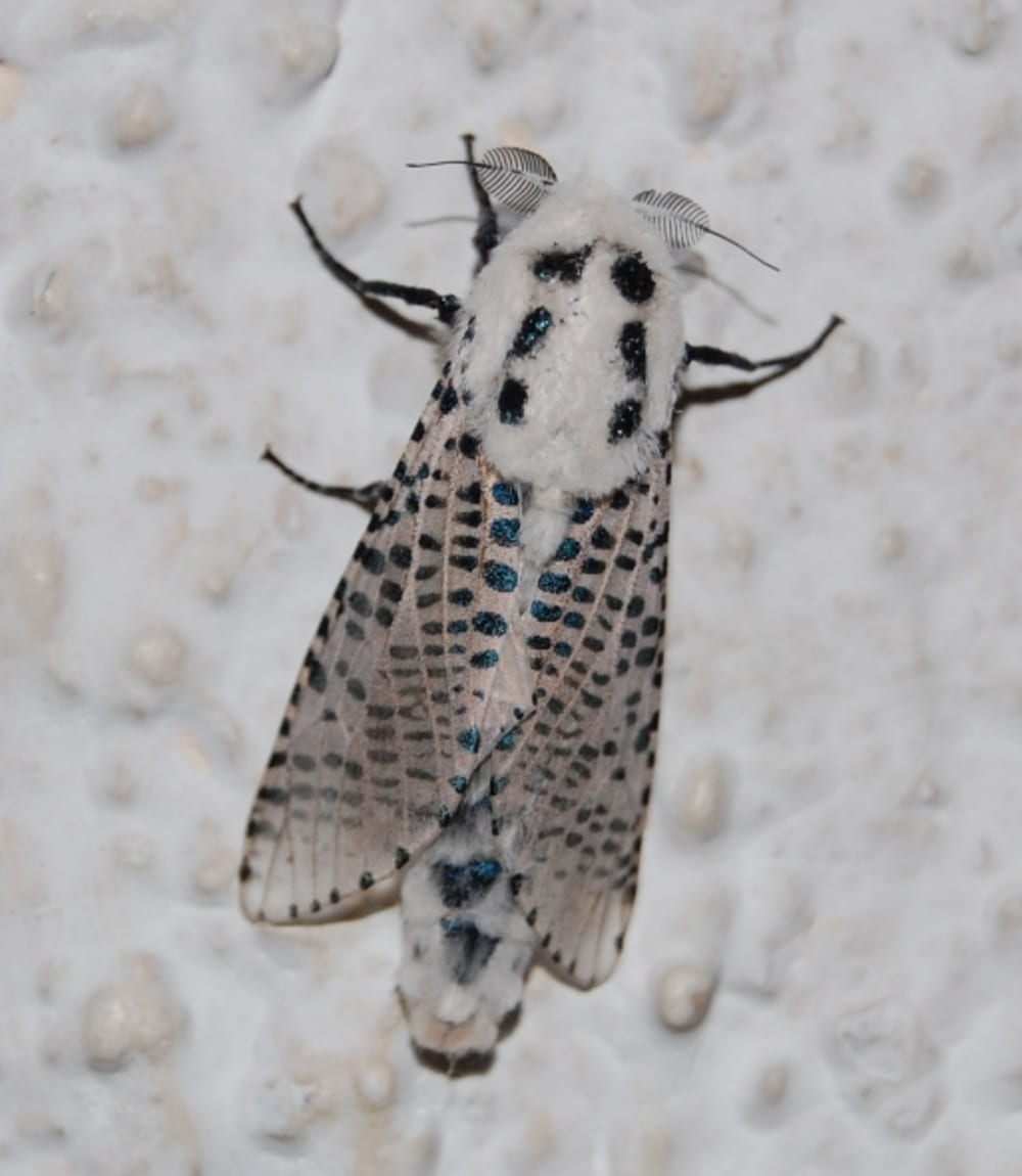 Leopard Moth - Zeuzera pyrina