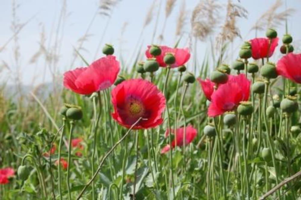 Papaver somnifera Opium Poppy