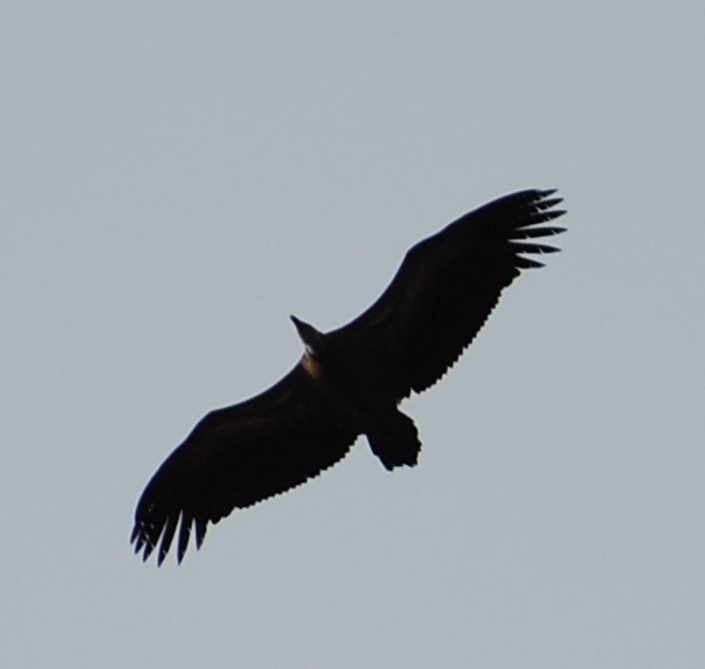 Black Vulture flying over Puig Tomir