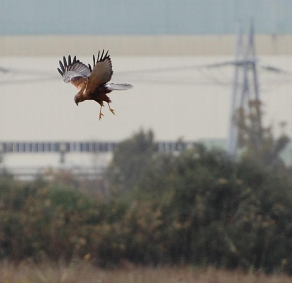 Male Marsh Harrier at Albufera